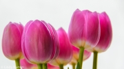 2014 - Tulips