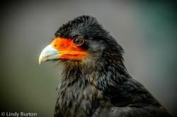 Juvenile Mountain Caracara (Falcon), Machu Picchu, Peru