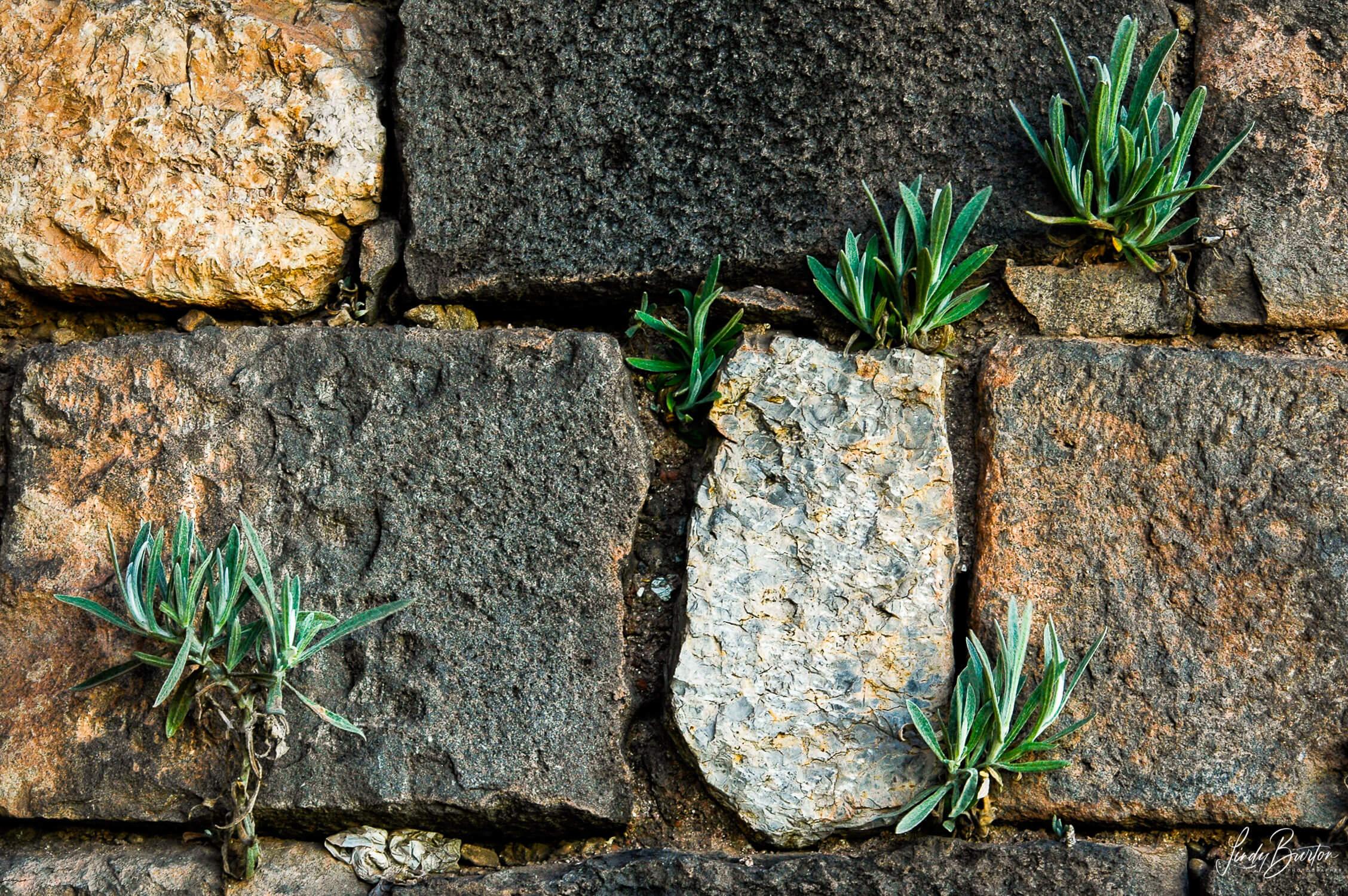 Plants growing between rocks in wall Cusco Peru