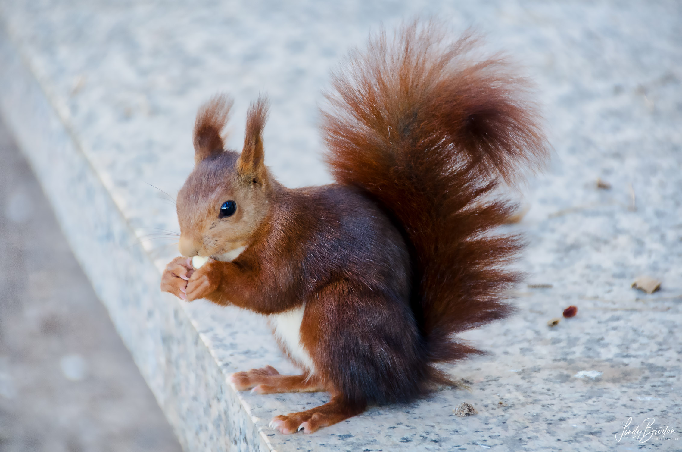 Camino Frances Squirrel on the way to Navarete Spain